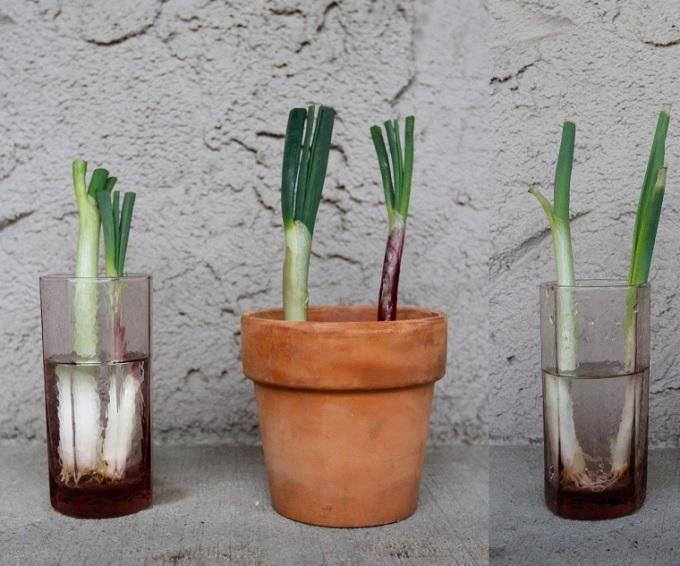 huerto-en-casa-cebolla-verde-cultivo