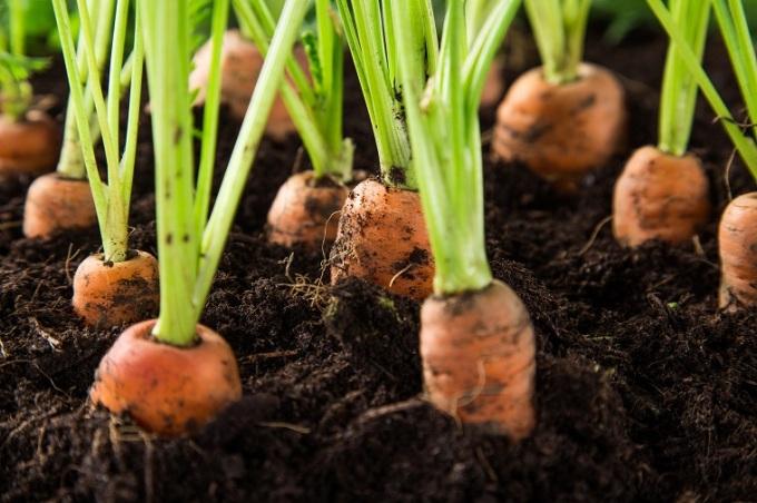 huerto-en-casa-ideas-originales-zanahorias